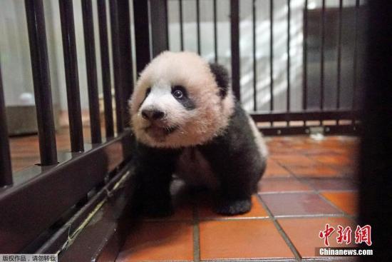 """据日本媒体报道,熊猫宝宝的征名收到了超过32万份方案,""""香香""""获得了5161票。"""
