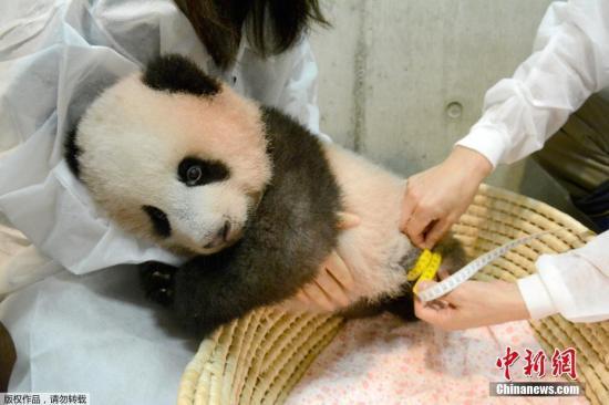 """当地时间2017年10月10日,日本东京,旅日大熊猫""""香香""""在东京上野野生动物园进行健康检查。""""香香""""紧抱住工作人员,萌态十足。"""
