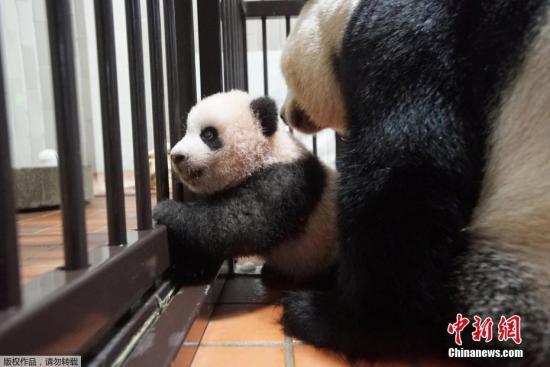 """资料图:熊猫宝宝""""香香""""和母亲""""真真""""。"""