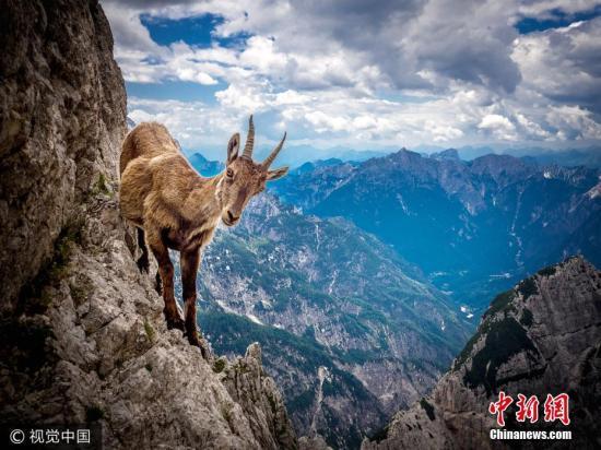 资料图:山羊。图片来源:视觉中国