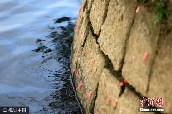 """材料图:据领会,祸寿螺雅称""""年夜瓶螺"""",本产于北好洲亚马逊河道域,属于中去物种,个别较海水田螺年夜,喜好糊口正在火量清爽、饵料充沛的海水中,每一年3~11月祸寿螺的繁衍时节,时期它们会大批产怂 图片滥觞:视觉止您"""
