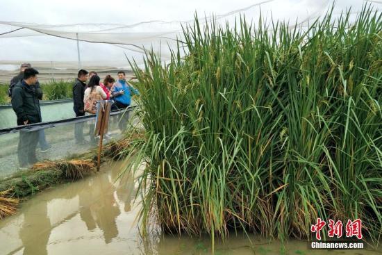 """中国科学院亚热带农业生态研究所10月16日在长沙对外宣布,该所研究员夏新界领衔的水稻育种团队历经十余年,选育出植株高1.8米到2.25米的超高产优质新种质""""巨型稻""""。图为人与杂交稻高度对比。中新社记者 徐志雄 摄"""