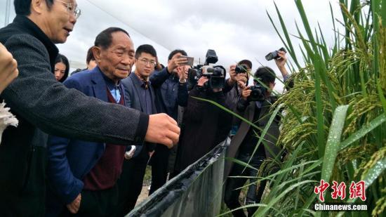 """图为""""杂交水稻之父""""袁隆平观察""""巨型稻""""生长情况。中新社记者 徐志雄 摄"""