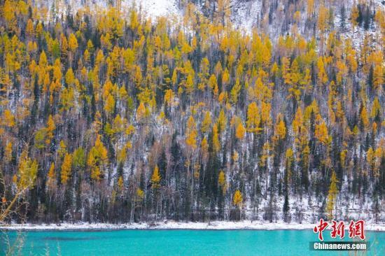 金秋十月,新疆喀纳斯大雪过后,秋景迷人。中新社发 张鑫 摄 图片来源:CNSPHOTO