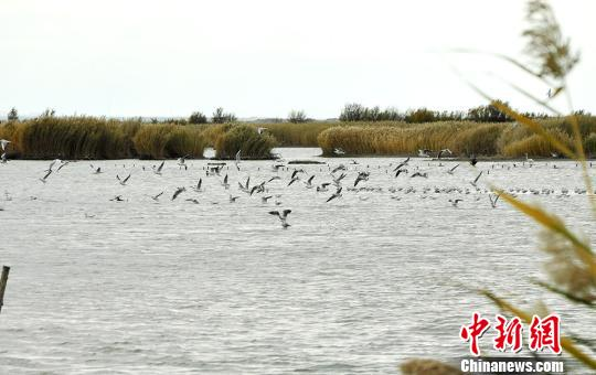 图为新疆艾比湖湿地自然保护区迎来大批候鸟。 秦桂莲 摄