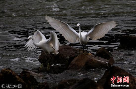 """资料图:白鹭在黄山新安江畔腾空展翅""""比武""""。施广德 摄 图片来源:视觉中国"""