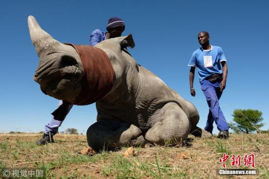 """资料图:当地时间2017年10月16日,南非犀牛饲养主约翰・休姆的农场在严密安保中进行割犀牛角。休姆在80平方公里的农场上饲养着1800只黑犀牛与白犀牛。休姆定期将所饲养犀牛的角切下,这些犀牛之后会重新长出角来。最近休姆将在网上拍卖近期收割的264支犀牛角,休姆和一些支持合法销售犀牛角的人士认为,只有通过合法""""收割""""犀牛角来满足需求,非法猎杀才能被遏制。图片来源:视觉中国"""