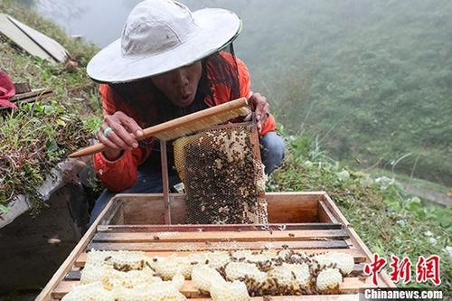 材料图片为:蜂农正在支割蜂蜜。a target='_blank' href='http://www.chinanews.com/'中新社/a记者 贺俊怡 摄