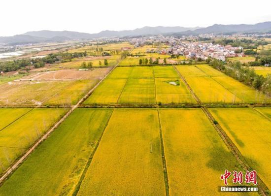 资料图:金秋时节,正值南方晚稻丰收季,农民忙着收获。傅建斌 摄