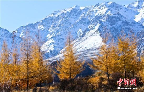 资料图:巍峨的祁连山与层林尽染的森林相映成景。王将 摄
