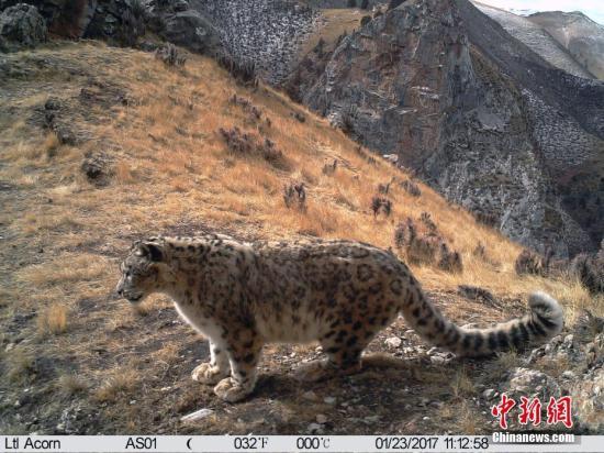 """日前,世界自然保护联盟(IUCN)将雪豹生存状况由""""濒危""""调整为""""易危"""",表明该物种在全球范围内的可繁殖个体已超过2500只,在过去16年中的物种减少数量已低于整个种群的20%。文/罗云鹏 山水自然保护中心供图"""