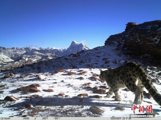 """雪豹素有""""高海拔生态系统健康与否的气压计""""之称,1996年《中国濒危动物红皮书》已将其列为濒危物种,目前中国是全球雪豹最大分布国,涵盖其60%的栖息地。文/罗云鹏 山水自然保护中心供图"""