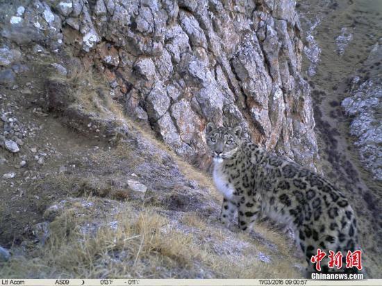 资料图:雪豹。山水自然保护中心供图