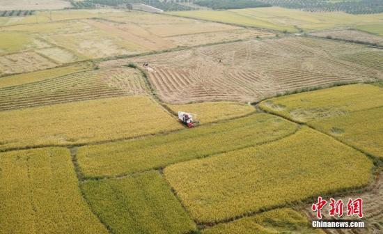 """10月23日,航拍江西泰和县苏溪镇高溪村金黄的稻田,农民忙着收割超级稻。近年来,全国粮食生产先进县、全国首批商品粮基地县的泰和,引导农民种植超级稻,全县推广""""五优华占""""等10多个超级稻品种,超级稻种植面积达20多万亩。今年二晚超级稻再获丰收,超级稻亩产最高突破1700多斤,亩平单产已达1300斤,比种植常规稻高出200多斤,每亩可增收260元。 邓和平 摄"""