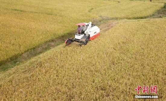 资料图:10月23日,航拍江西泰和县苏溪镇高溪村金黄的稻田,农民忙着收割超级稻。邓和平 摄