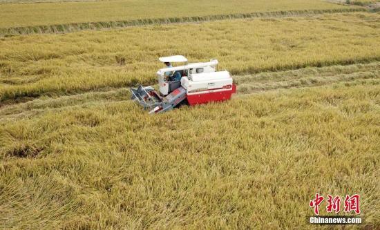 资料图:农民收割水稻。邓和平 摄