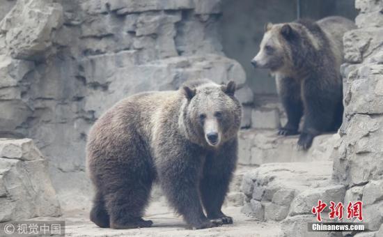资料图:灰熊。 图片来源:视觉中国