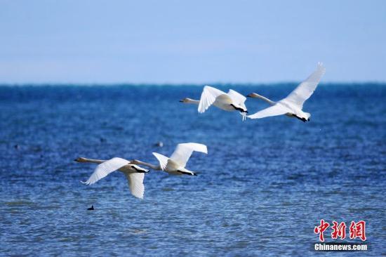 资料图:迁来青海湖越冬的大天鹅。 杨涛 摄