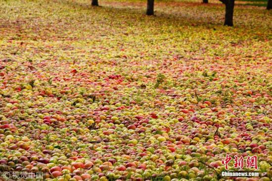 资料图:掉落的苹果铺满果园。图片来源:视觉中国