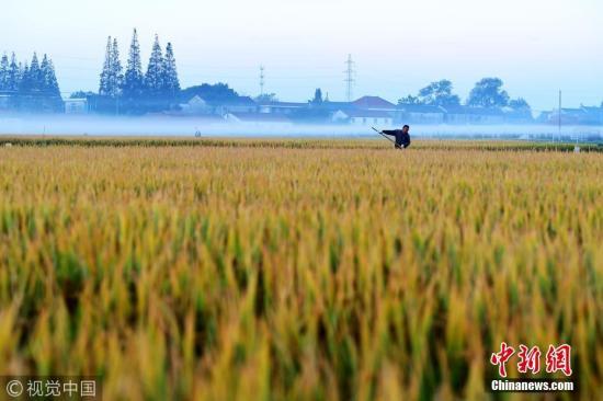 """2017年10月31日,江苏海安,晨雾给秋收稻田披戴上""""面纱""""。早起的农民在阡陌间忙碌。 图片来源:视觉中国"""