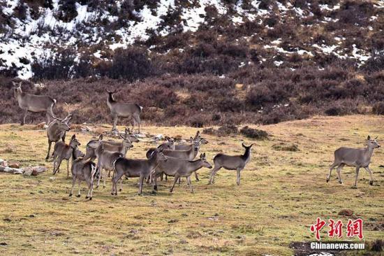 一大群野鹿在可可西里腹地觅食,场面壮观。 切嘎 摄