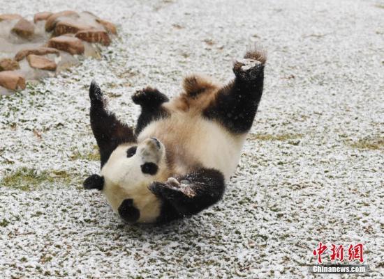 11月2日,长春市迎来深秋首场降雪,吉林省东北虎园内的大熊猫梦梦兴奋地在雪中撒欢。<a target='_blank' href='http://www.chinanews.com/'>中新社</a>记者 张瑶 摄