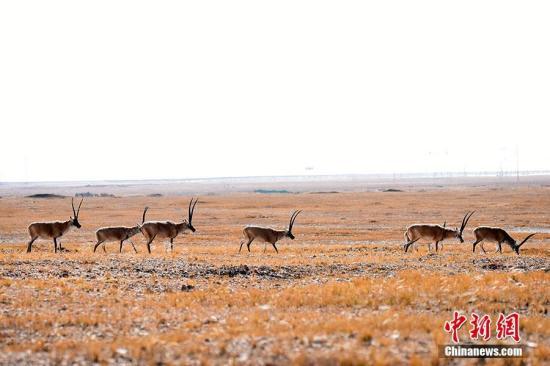 资料图:成群结队的藏羚羊在辽阔的可可西里土地上觅食。 切嘎 摄
