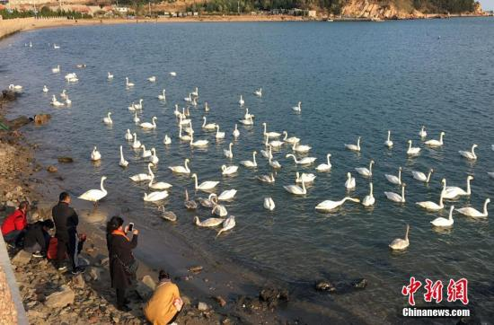 """11月的山东荣成天鹅湖,成群结队的大天鹅如约而至。""""中国大天鹅之乡""""荣成又迎来了新一年的""""天鹅季""""。于紫露 摄"""
