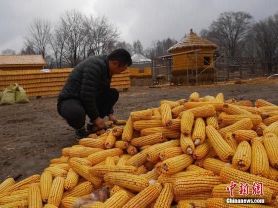 资料图:玉米。<a target='_blank' href='http://www.chinanews.com/'>中新社</a>记者 苍雁 摄