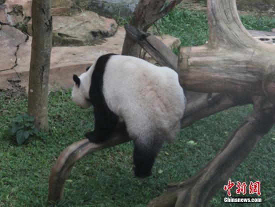 Photo taken on Nov. 18, 2017 shows the giant panda Cai Tao plays in Taman Safari Indonesia in Bogor, West Java. (File photo/China News Service)