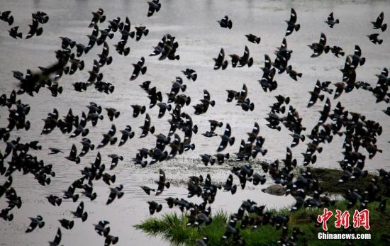 """资料图:成千上万只""""丝光椋鸟""""现身新安江。 中新社发 施广德 摄 图片来源:Cnsphoto"""