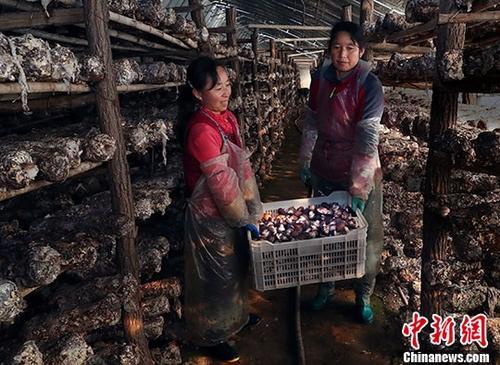 资料图:陕西省陇县产业扶贫创业孵化示范基地的农户收获蘑菇。中新社记者 宋吉河 摄