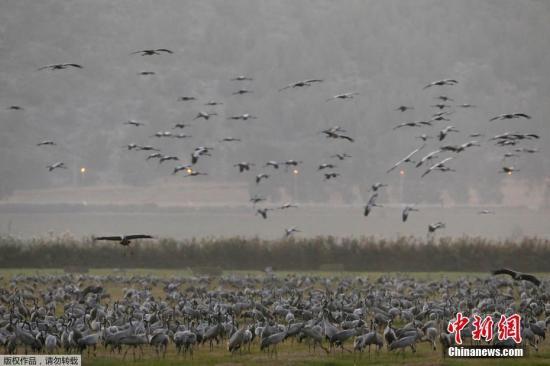 大批灰鹤聚集以色列人造湖 场面壮观