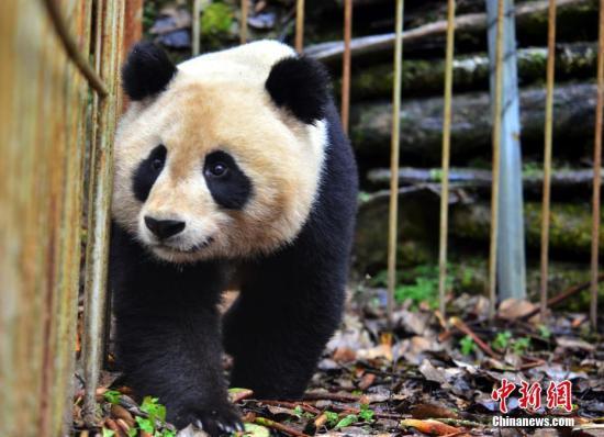 """在适应圈舍里的大熊猫""""映雪""""。李传友 摄"""