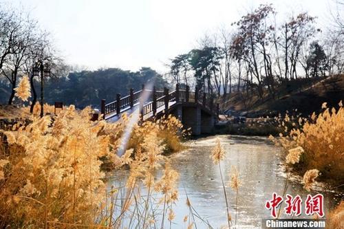 11月20日,随着近日冷空气到来,北京气温逐步下降,圆明园迎来观赏芦苇的绝佳时节。据悉,2017年圆明园有选择地在狮子林、玉玲珑馆和九州景区等处保留了部分水面的芦苇,着力营造秋冬季节的水面景观。芦苇在为游客提供新景色的同时,也为鸟类提供栖息、觅食、繁殖的家园,并可涵养水源,巩固湿地生态环境。中新社发 圆明园管理处供图