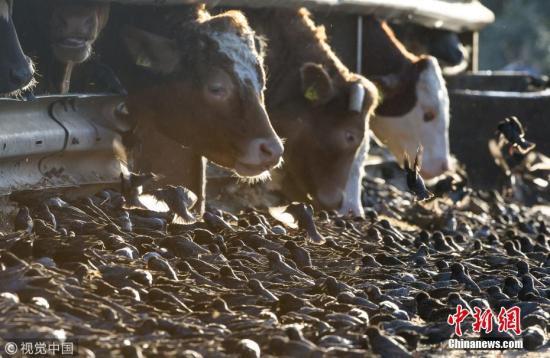 资料图:英国阿申登,一群牛在吃饲料。 图片来源:视觉中国