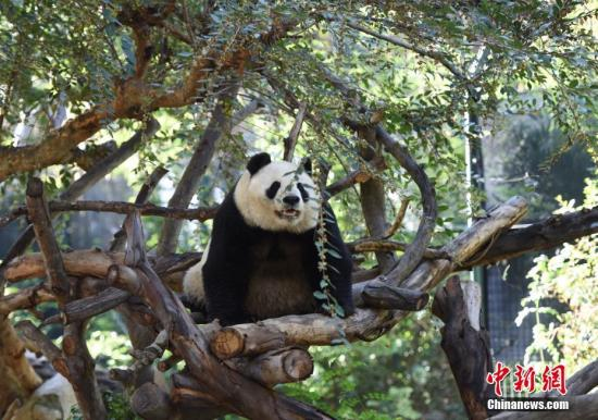 """资料图:美国加州圣地亚哥动物园内的中国""""国宝""""大熊猫""""白云""""。<a target='_blank' href='http://www.chinanews.com/'>中新社</a>记者 张朔 摄"""