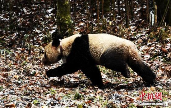 """大熊猫""""八喜""""走进大自然。 安源 摄"""
