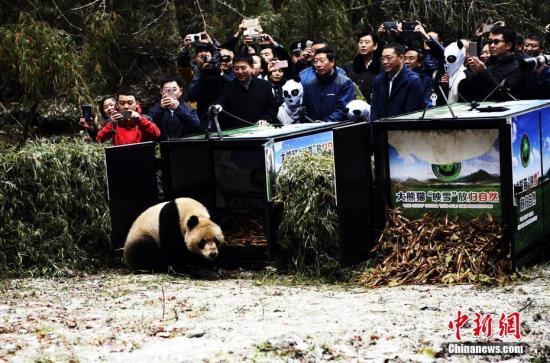 """当日11时10分,大熊猫""""映雪""""与""""八喜""""相继出笼,一路小跑进入山林,标志着两只大熊猫从此放归自然。图为大熊猫""""八喜""""走出放归笼。 安源 摄"""