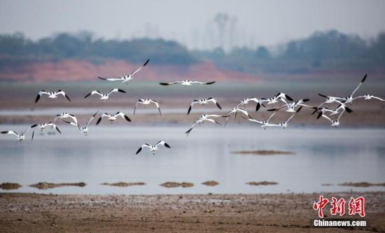 资料图:江西鄱阳湖都昌候鸟自然保护区拍摄的大批冬候鸟,包括白鹤等。傅建斌 摄