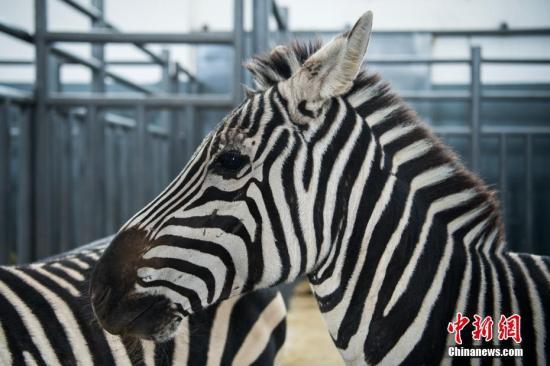 斑马为何有黑白条纹?最新研究︰为驱赶苍蝇