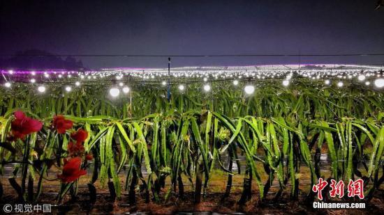资料图:南宁市武鸣区的一家火龙果种植基地。