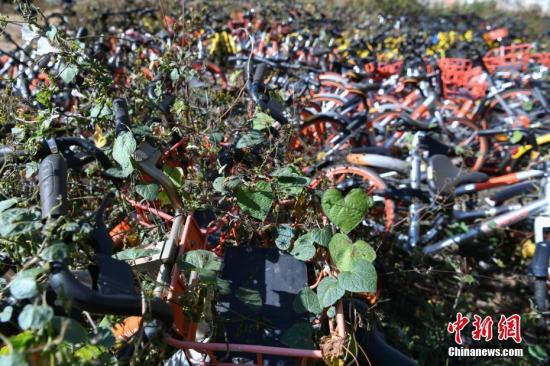 """12月6日,数百辆各品牌的共享单车堆放在昆明市区内一空地上,被荒草和藤条植物""""掩埋"""",大部分单车还可以正常使用。 中新社记者 任东 摄"""