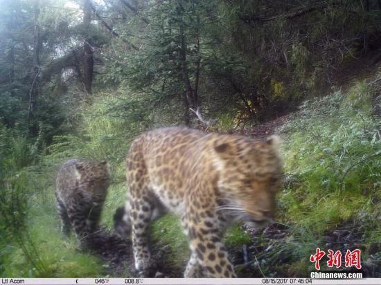 资料图:红外相机所拍摄到的金钱豹。山水自然保护中心 供图