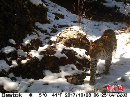 监测显示青海囊谦是三江源区域金钱豹重要栖息地。图为红外相机所拍摄到的金钱豹。中新社发 山水自然保护中心供图