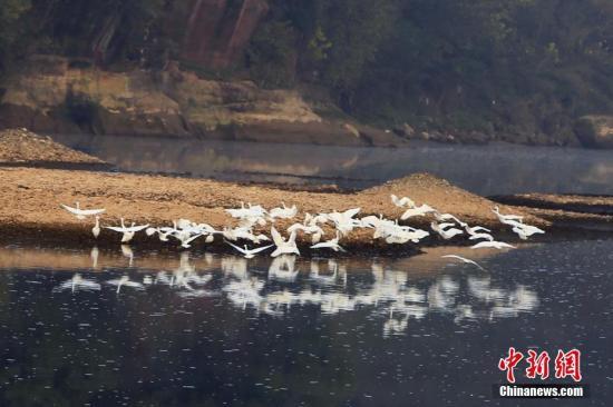 12月7日,在湖北远安县花林寺镇桃李村,成群的白鹭在河滩上时而结伴高飞,时而漫步河滩,场景十分壮观。白鹭体态纤瘦,通体着白色羽毛,喜欢栖息于沼泽、稻田、湖泊或滩涂地,寻食时不结群,而以分散形式或单独在河滩、湖边窥视食物,已被列入《濒危野生动植物种国际贸易公约》名单。近年来,远安县加大中小河流域生态治理力度,维护河库生态系统完整,使沿河两岸的生态环境得到明显改善,为白鹭等鸟类繁衍栖息创造了良好的生存环境。 王光华 摄