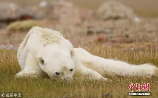 """12月12日消息,最近一段令人心碎的视频正在网络上走红,画面显示一只骨瘦如柴的北极熊正在垃圾桶中觅食。影片中,北极熊跌跌撞撞行走,之后像躺在地上等死的画面,配上了悲伤的音乐,看哭了众多网友。摄影师Paul Nicklen近日在Instagram分享了这一令人心碎的影片,随后被成千上万的网友和媒体转发和报道。摄影师接受采访时表示,视频拍摄于加拿大巴芬岛(Baffin Island),当时看到这只瘦到只剩皮包骨的北极熊时,它走路有气无力地拖着两只后腿。Paul Nicklen还表示:""""我们站在那里哭泣,一边拍摄,眼泪一边落在脸颊上。""""很多网友希望能救下这只北极熊,不过摄影师表示,在加拿大喂饲北..."""