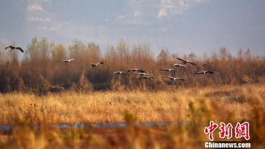 资料图:冬季的河南孟津黄河湿地自然保护区,国家II级重点保护动物灰鹤翻飞。 冯豫山 摄