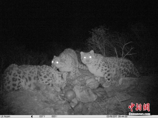 红外相机监测画面显示,雪豹妈妈和两只雪豹幼仔一起正大快朵颐一头家养牦牛,时长超过两个小时。(山水自然保护中心供图) <a target='_blank' href='http://www.chinanews.com/'>中新社</a>记者 钟欣 摄