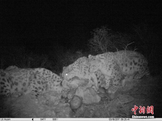 三江源地区红外相机首次记录到雪豹分食画面